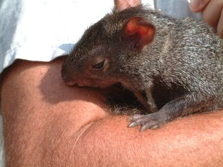 An agouti makes a lovely pet.