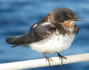 Barn Swallow, juvenile, a migrant from the north