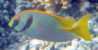 The Barred Rabbitfish