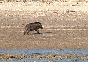 Wild pig on the beach of Rinca Island, Indonesia