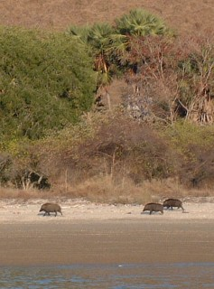 Wild pigs were abundant on Rinca and Komodo