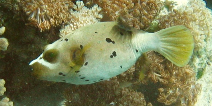 Figure 8 Puffer Fish: Tetraodon