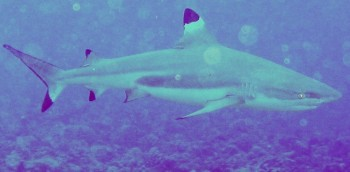 Blacktipped Reef sharks abound in French Polynesia