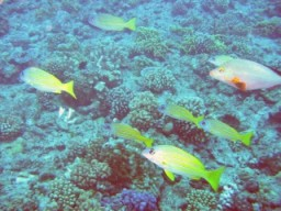 Blue-striped snapper and other fish over a garden of coral
