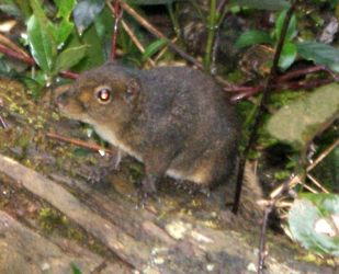 This Mountain Ground Squirrel is endemic to Borneo