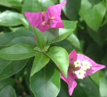 Purple Bougainvillea Flowers