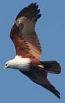 Brahmini Kite over Thailand, by Amanda Hacking