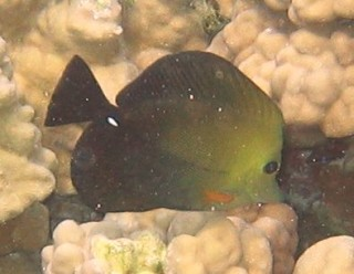 Brushtail Tang Zebrasoma scopas