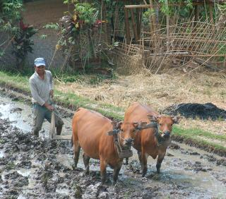 Buffalo plowing a rice paddy for the new crop.