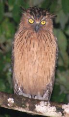 Buffy Fish-Owl, Borneo