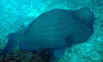 Bumphead parrotfish resemble swimming bison!