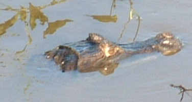 A small caiman rests with its nostrils just out of the river.