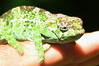 Small chameleon of Montagne d'Ambre, in northern Madagascar