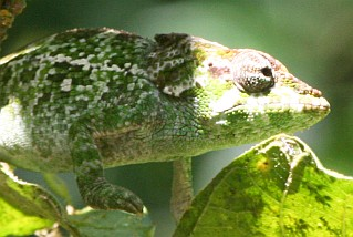 A chameleon, Caloma Ambre, in partial shade in northern Madagascar
