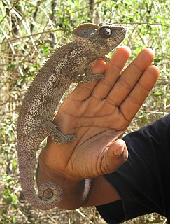 Goulam holds up a lovely chameleon