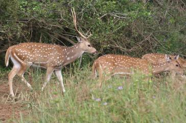 A Chital deer family group with adult male