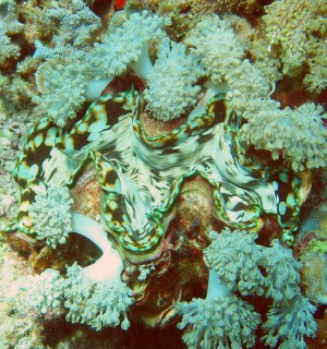 A colorful giant clam surrounded by soft corals