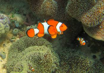 Nemo!  Clown anemonefish in Haddon's anemone