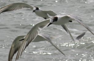 Common terns, in flock behind boat, Malaysian coast