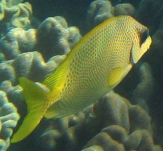The Coral Rabbitfish with its distinctive blue spots