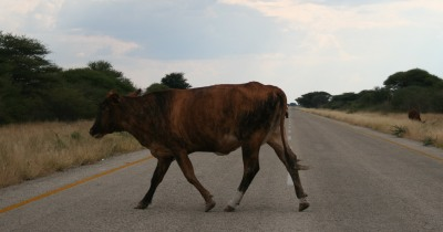 Cows are often on the roads in Southern Africa