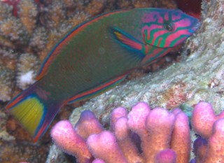 "The colorful crescent wrasse was a ""new"" fish for us."