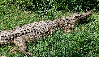 Nile Crocodiles live in Africa and Madagascar