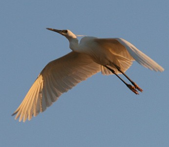 White Dimorphic Egret in flight, Madagascar