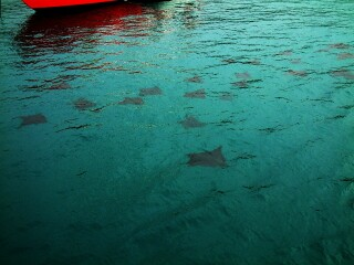 A school of Spotted Eagle Rays swam around the anchored boats off Santa Fe Island.