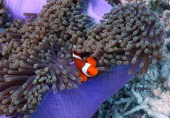 Clown Anemonefish in its anemone, Walo Bommies