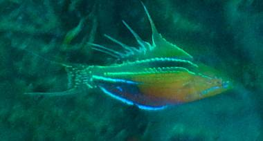 A male Flasher Wrasse in full display. Photo by Rainer