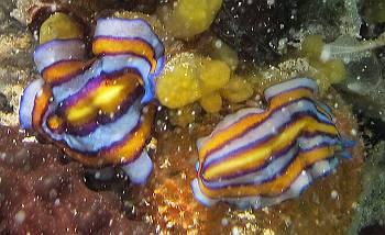 Brilliant flatworms in the silty jellyfish lake waters