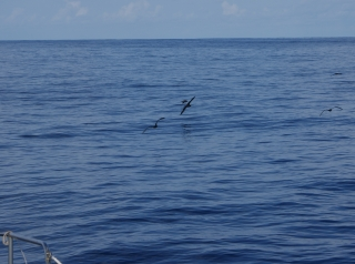 Shearwaters over a glassy sea, en route to Gan, Maldives