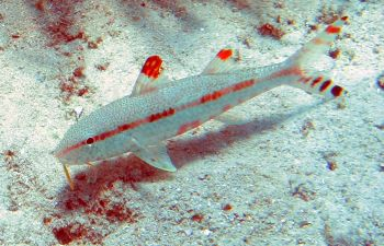 Freckled goatfish uses orange barbels to dig