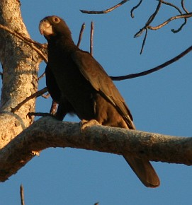Greater Vasa Parrot, Madagascar