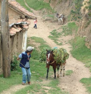 Mules, horses, or oxen are a way of life in the Andes. This animal carries its own fodder.