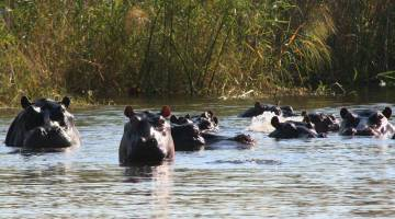 Getting up close & personal with hippos, Okavango