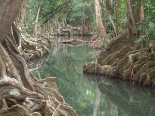 Beautiful buttressed roots on the Indian River