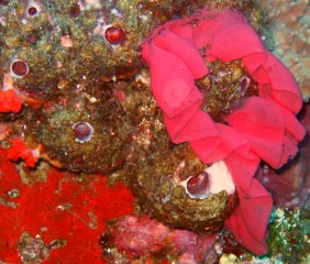 Brilliant reds oftunicates and nudibranch egg case