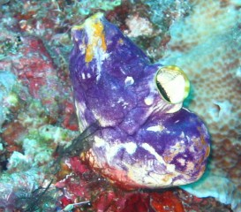 A lovely & common tunicate in Indonesia