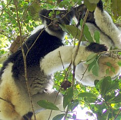 Indris in the trees, Madagascar