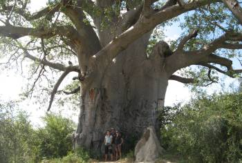 Huge baobabs are seen along the Caprivi Strip