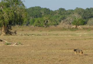 A Golden Jackal blends into the grassland.