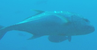 A large Jack swims by at 60 m