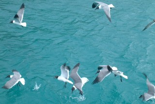Laughing Gulls in flight