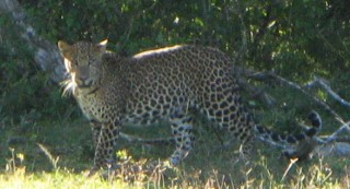 A beautiful Sri Lankan leopard, in Yala National Park