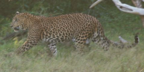 Leopard stalking a water-buffalo, but he didn't try very hard