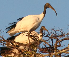 Madagascar Sacred Ibis in trees, Moramba Bay