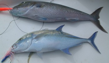 Two of the three excellent fish we caught in Makemo