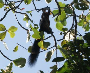 Malayan Black Giant Squirrel, on Penang Island